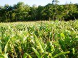 Plantação de Milho. Mamborê